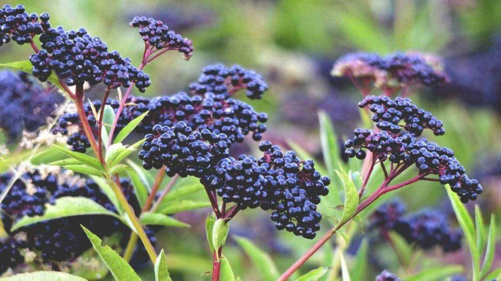 elderberry-plant-best elderberry syrup