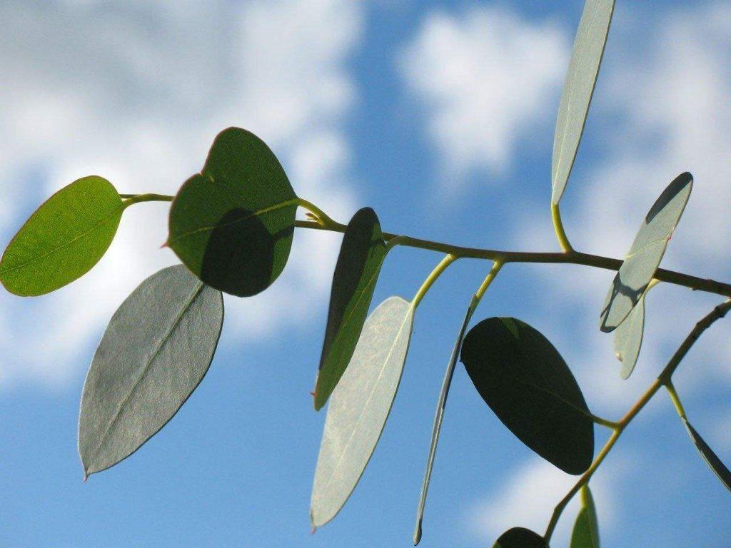 eucalyptus-oil-best essential oil for athlete's foot